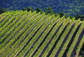 Arcadia Vines